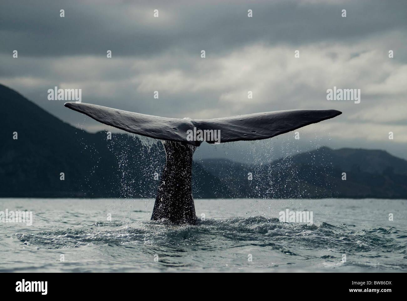 Balena Blu {Balaenoptera musculus} immersioni subacquee, coda fluke, Kaikoura, Isola del Sud, Nuova Zelanda Immagini Stock