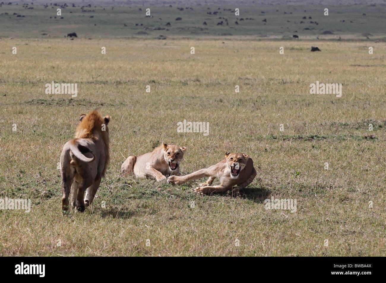 Attaccare Due Foto.Grande Leone Maschio Di Attaccare Due Leonesse Foto