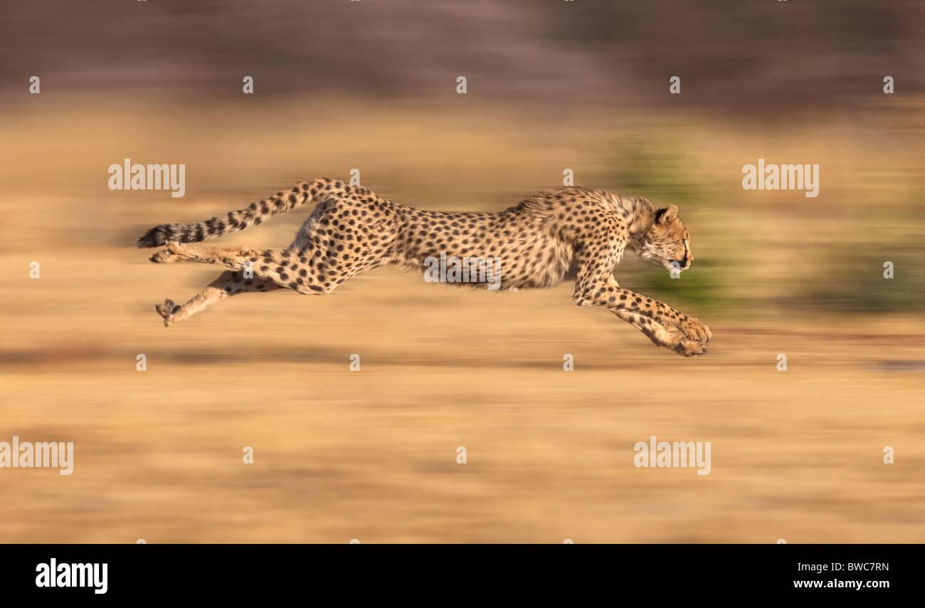 Ghepardo a caccia di prede a pieno stride, Namibia Immagini Stock