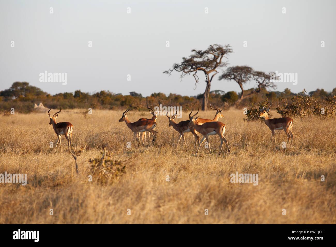Una mandria di Impala nel Parco Nazionale di Hwange Immagini Stock