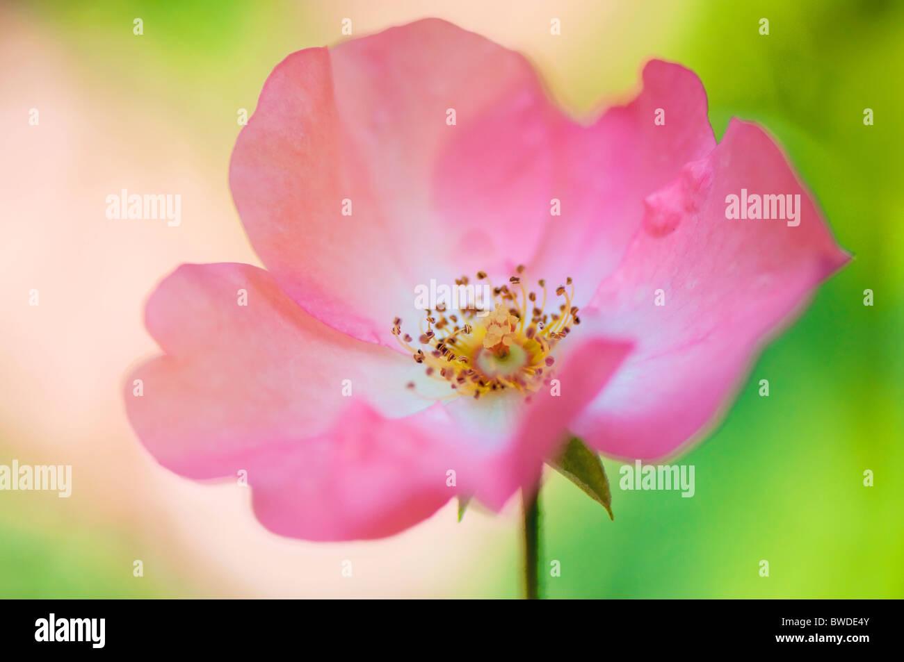 Una sola rosa rosa Flowerhead Immagini Stock