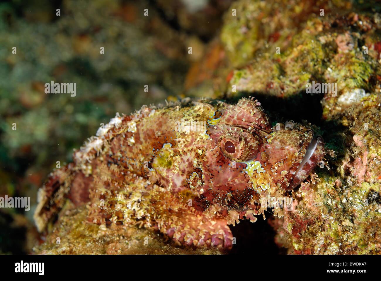 Testa piatta Scorpion Fish Scorpaenopsis oxycephalus, Scorpenidae, Tulamben Bali, Indonesia, Asia Immagini Stock