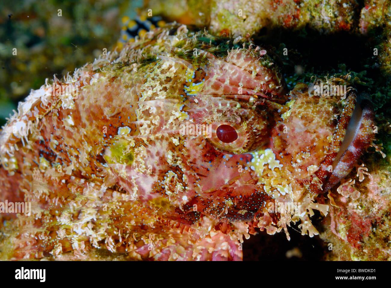 Testa piatta Scorpion Fish Scorpaenopsis oxycephalus, Tulamben, Bali, Indonesia Asia Immagini Stock