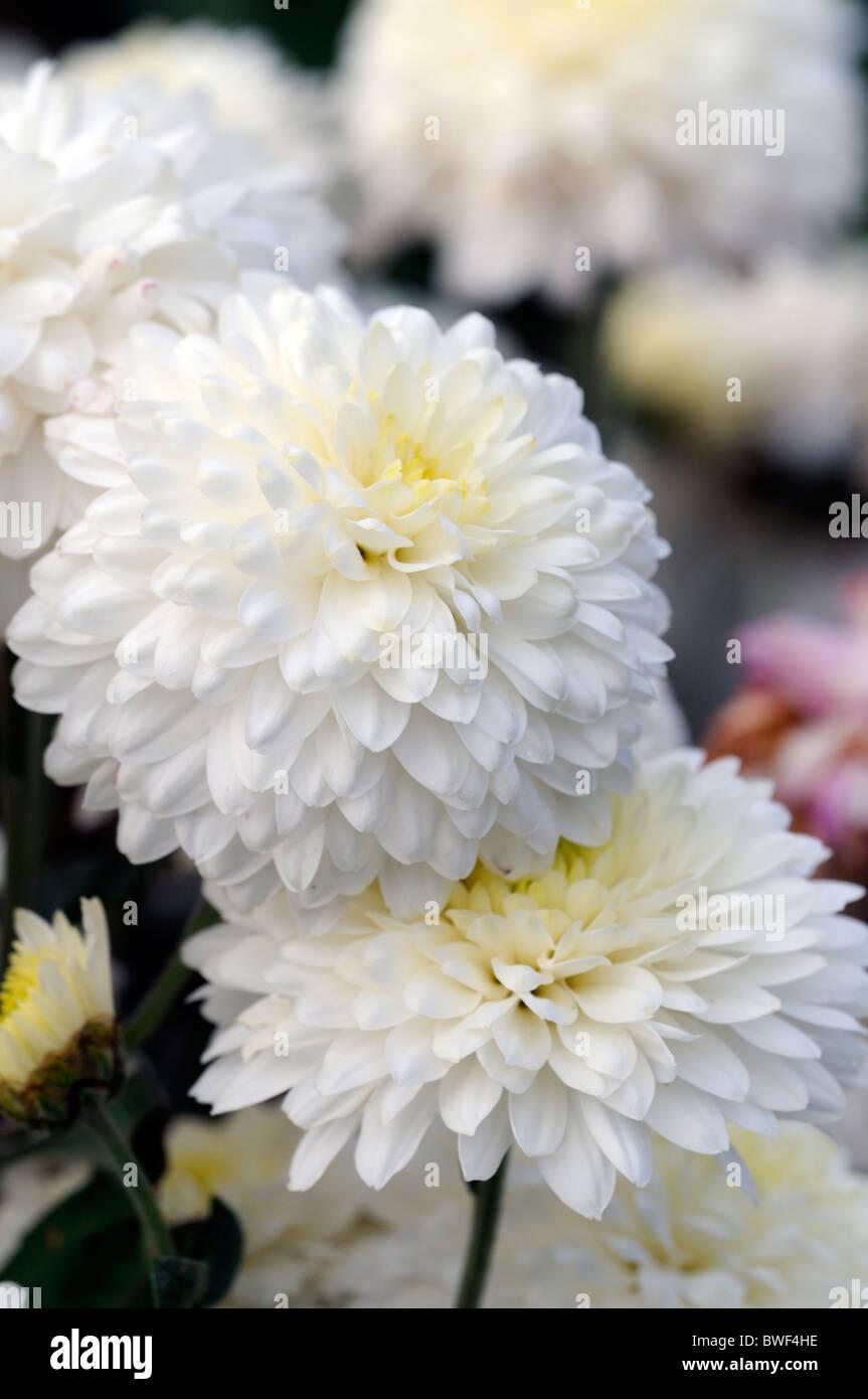 Fiori Bianchi Stelo Lungo.Crisantemo Anna Marie Spray Doppia Mezza Ardito Perenne