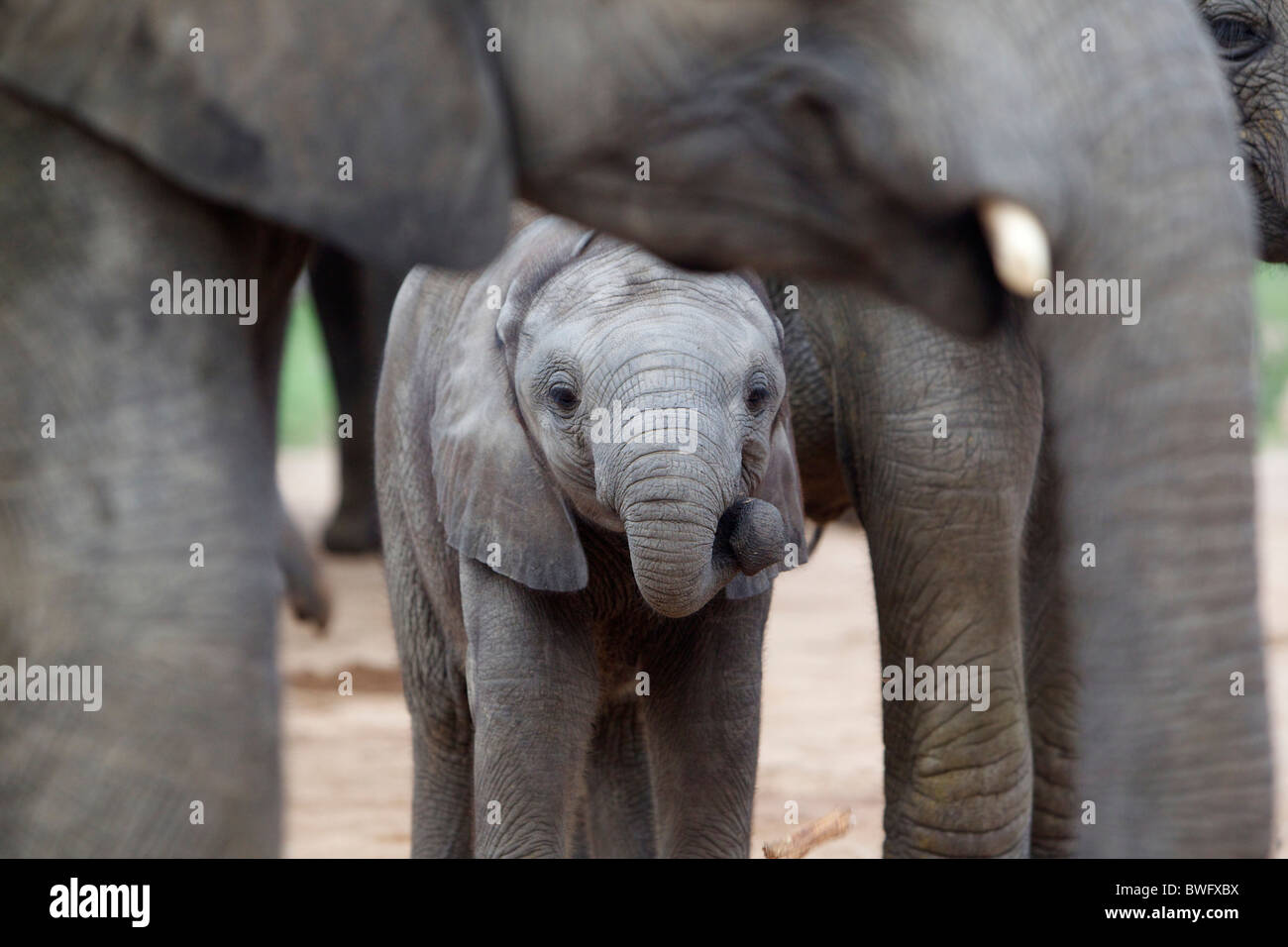 Madre con bambino elefante africano (Loxodonta africana), il Parco Nazionale Kruger, Mpumalanga Provincia, Sud Africa Immagini Stock