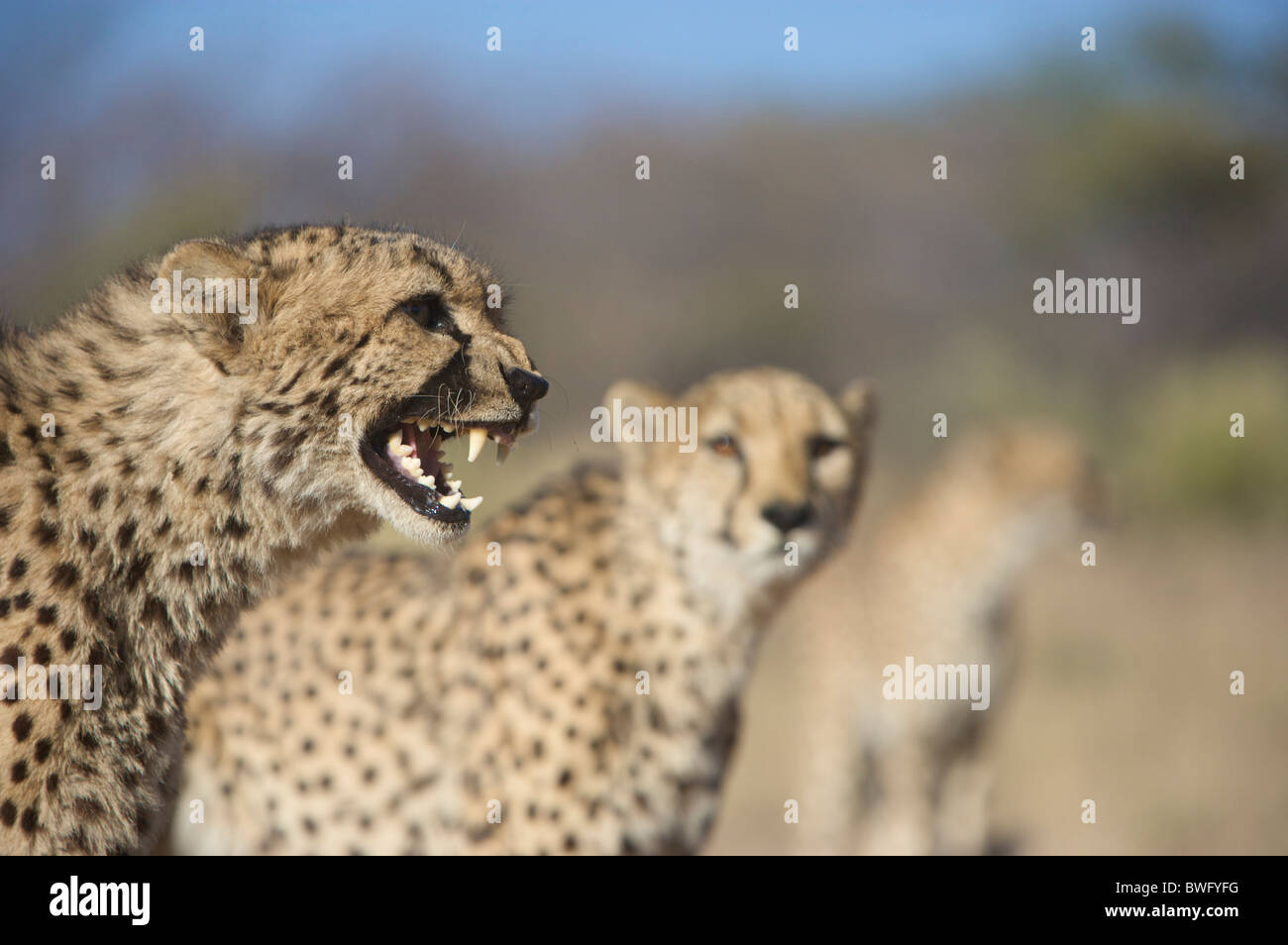 Ghepardo (Acinonyx jubatus) ululano con altri in background, Namibia Immagini Stock
