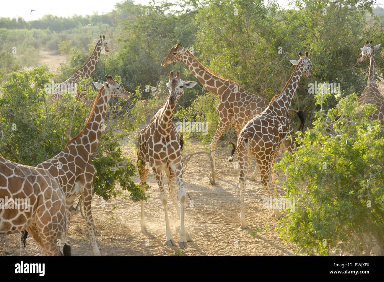 Alcune giraffe (Giraffa camelopardalis) tra Acacia Thorn trees su Sir Bani Yas Island, EMIRATI ARABI UNITI Immagini Stock
