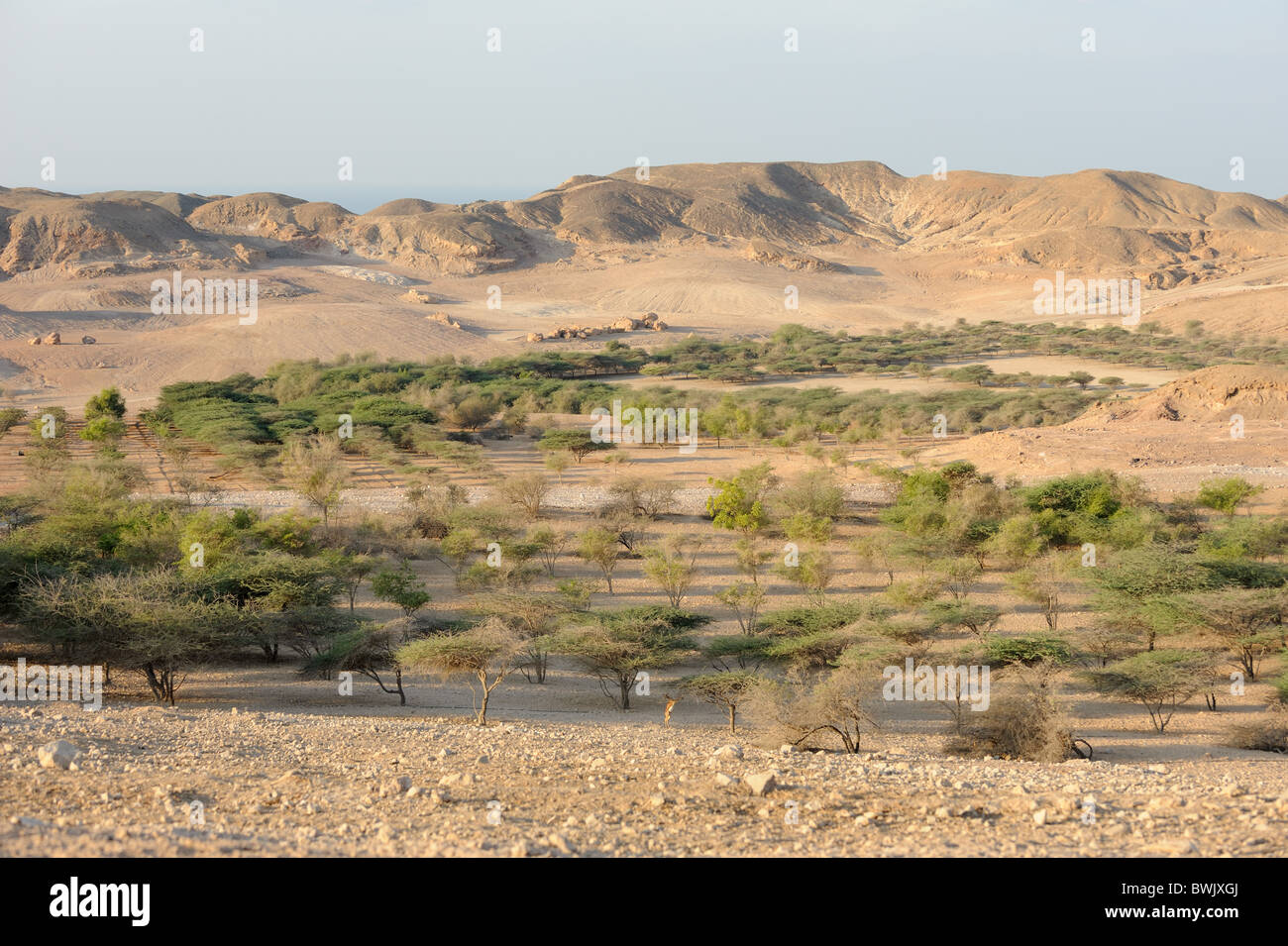 Acacia e altri alberi irrigati con acqua dissalata su Sir Bani Yas Island Riserva Naturale, EMIRATI ARABI UNITI Immagini Stock