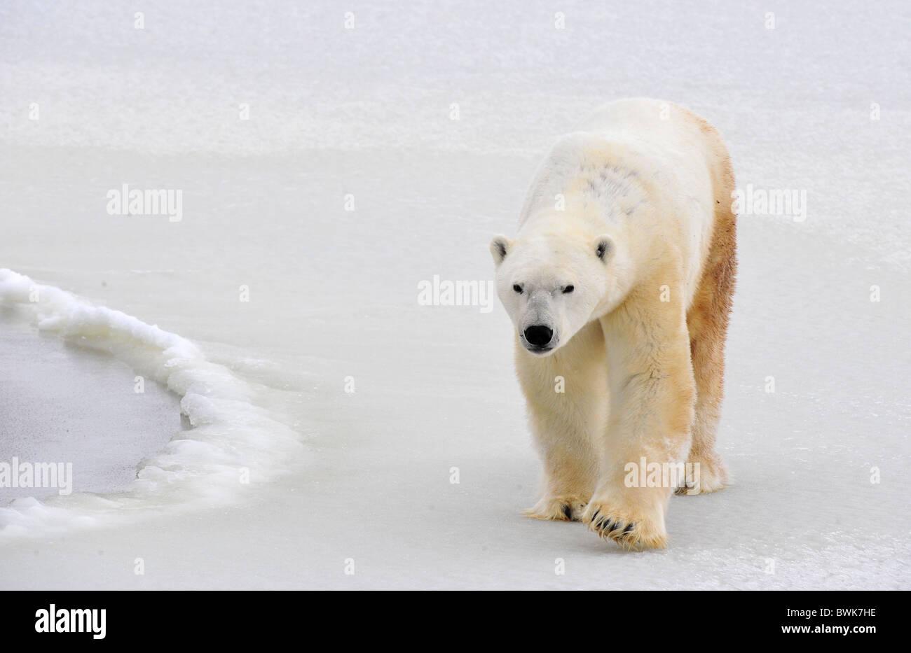 Orso polare in un habitat naturale. Neve. La brina. L'inverno. Foto Stock