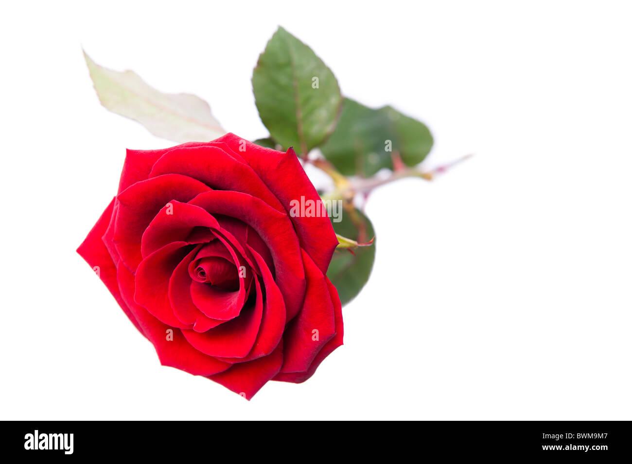 Singola Rosa Rossa Su Uno Sfondo Bianco Foto Immagine Stock