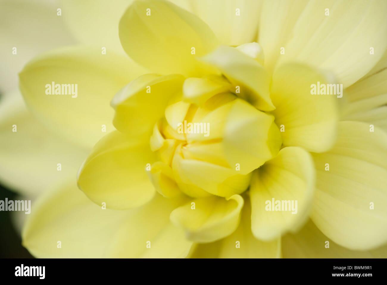 Giallo radiante dalia - fine art Jane-Ann fotografia fotografia Butler JABP921 Immagini Stock