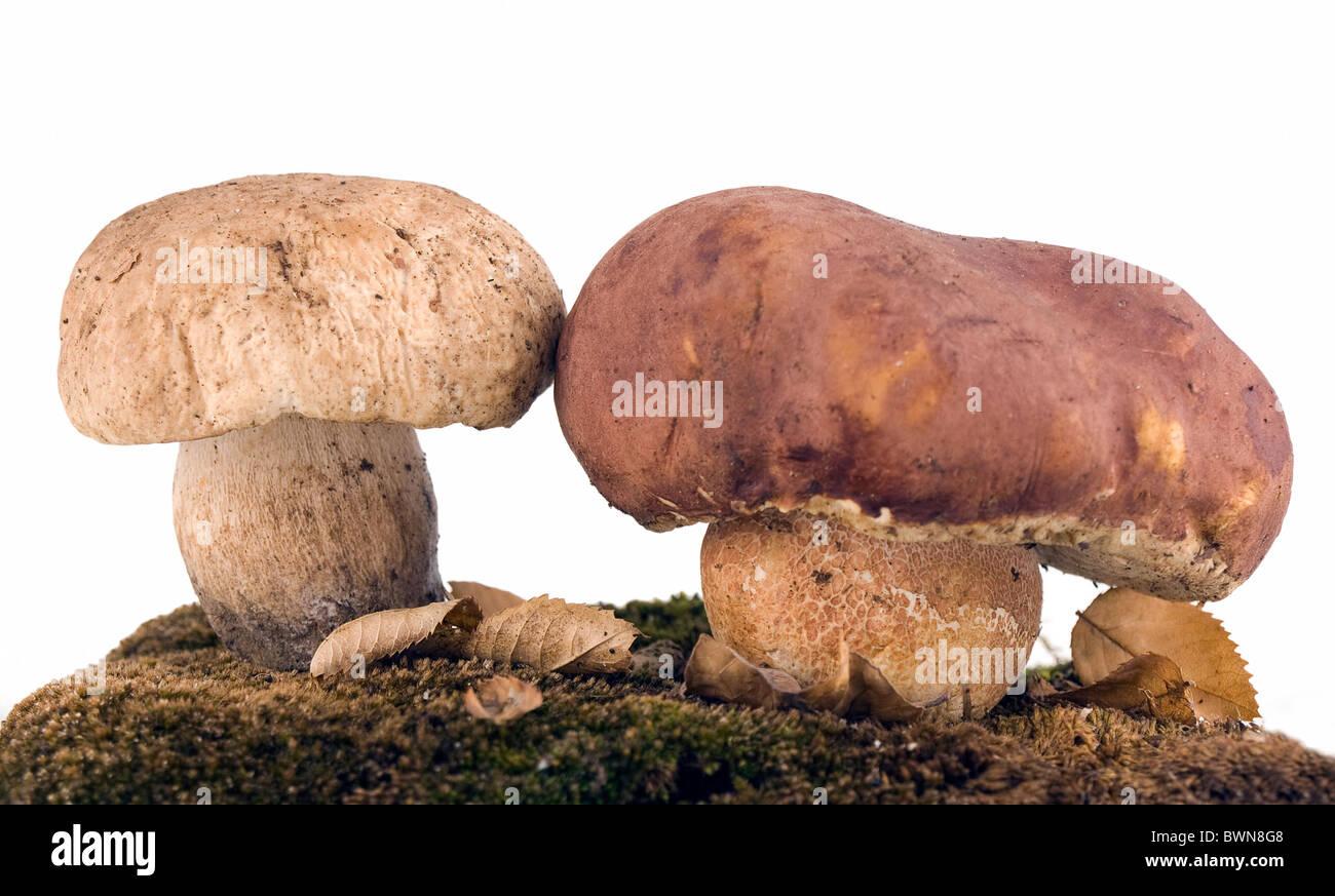 Funghi porcini e moss Foto Stock