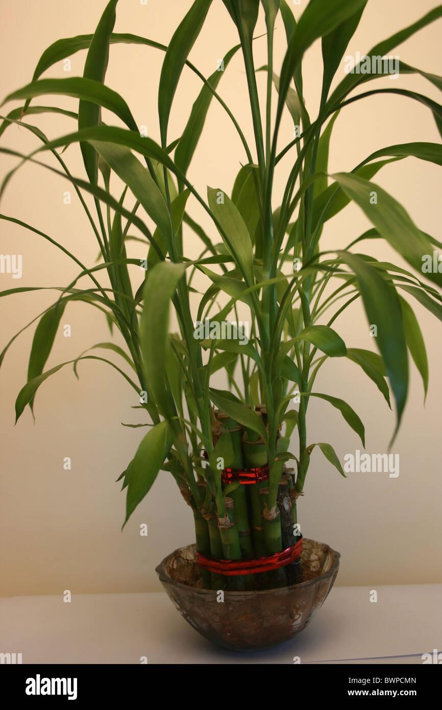 Il Feng Shui Lucky bambù con un sfondo bianco in una ciotola di vetro Immagini Stock