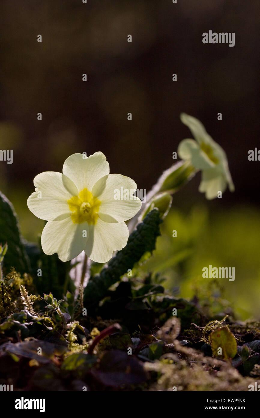 Primrose Primula vulgaris molla verticale Immagini Stock