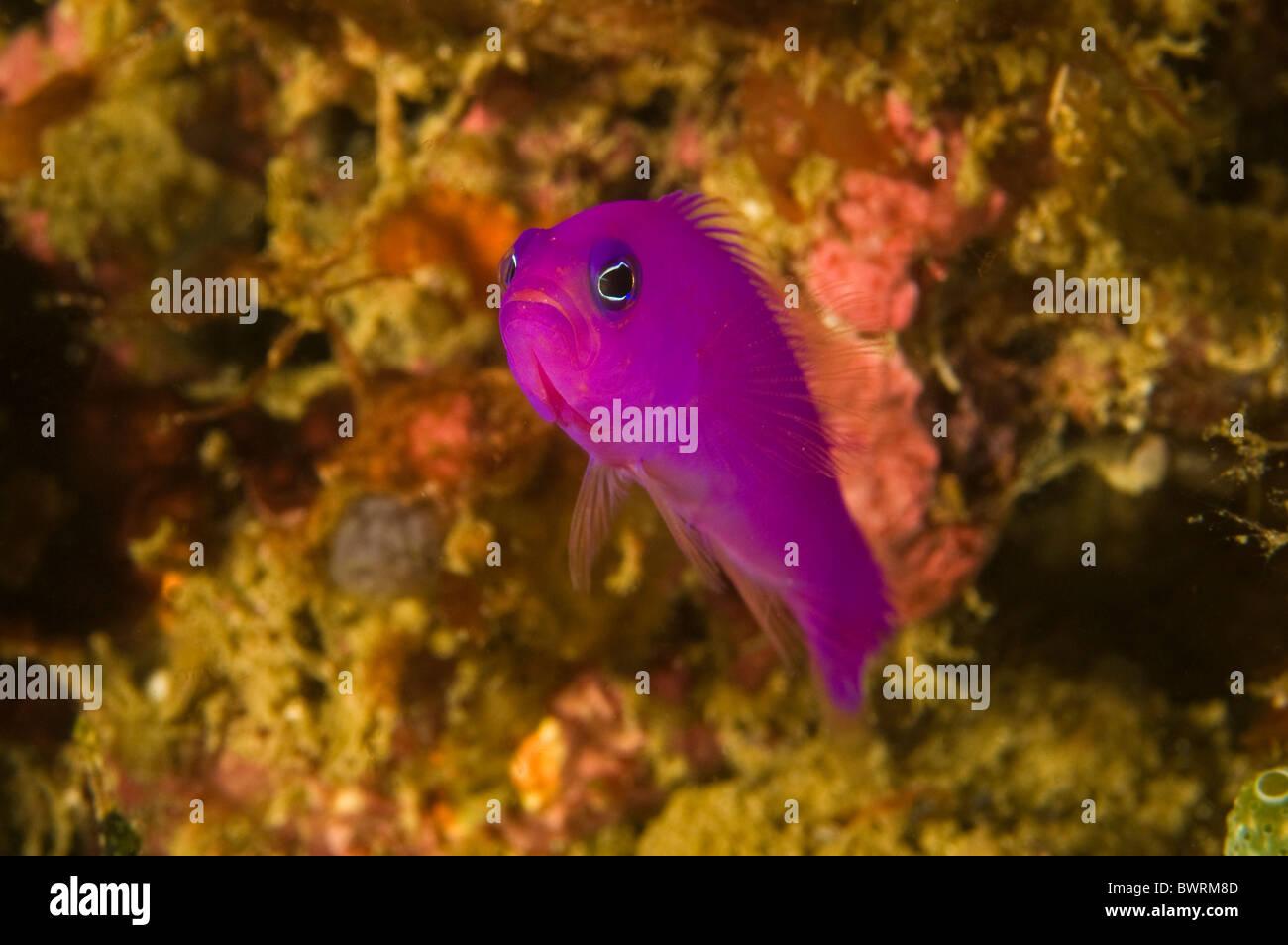Magenta, dotyback Pseudochromis porphyreus Raja Ampat Indonesia Immagini Stock