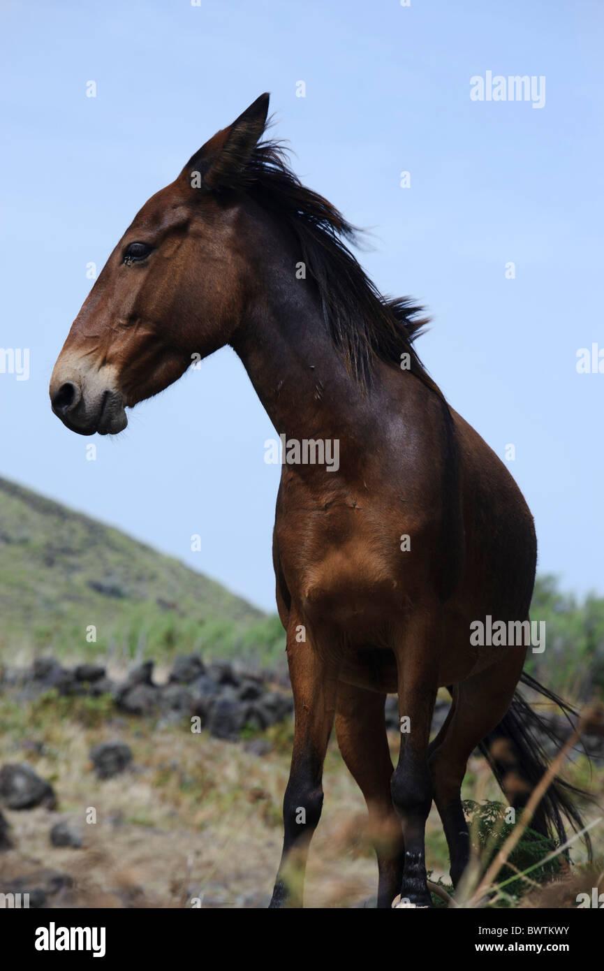 Cavallo, isola di Graciosa Immagini Stock