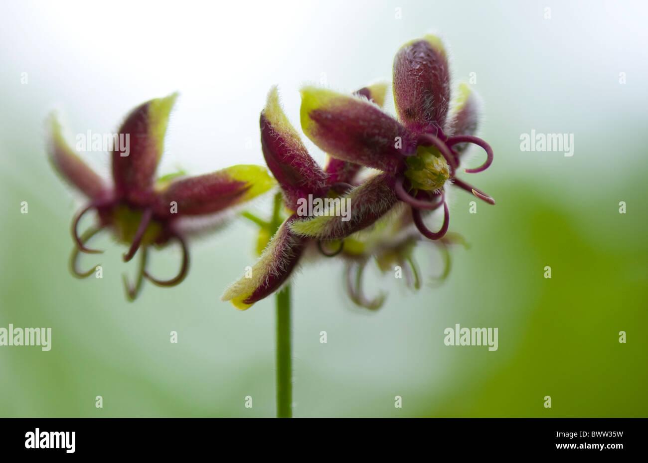 Vitigno di seta fiori - Periploca graeca Immagini Stock