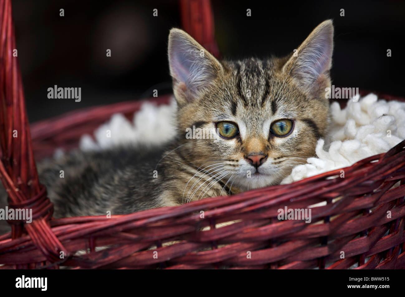 Il gatto domestico (felis catus) di appoggio nel cesto di rosso Immagini Stock