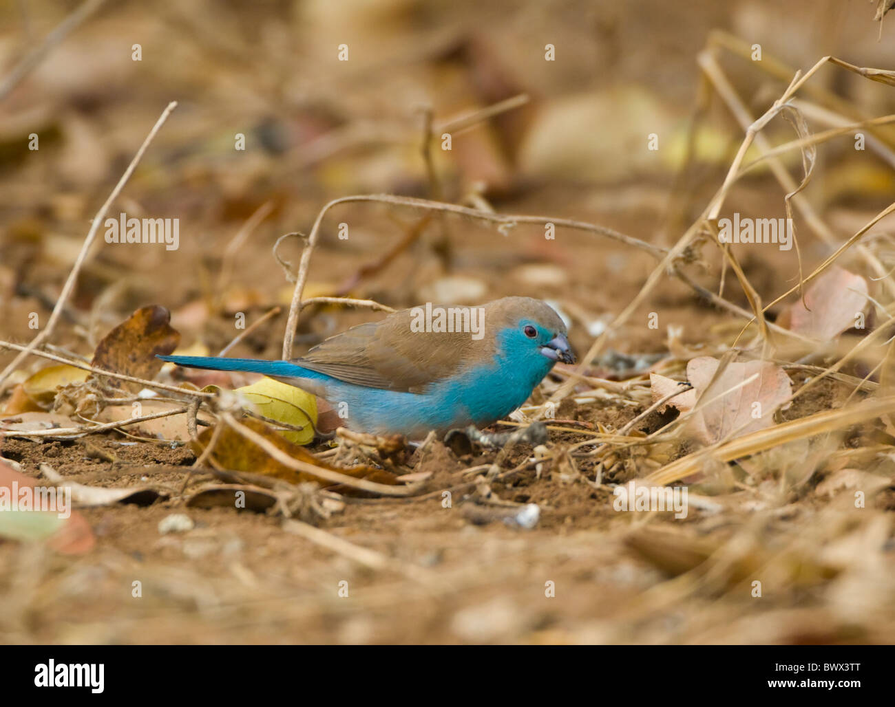 Blue Waxbill Uraeginthus angolensis Parco Nazionale Kruger Sud Africa Foto Stock