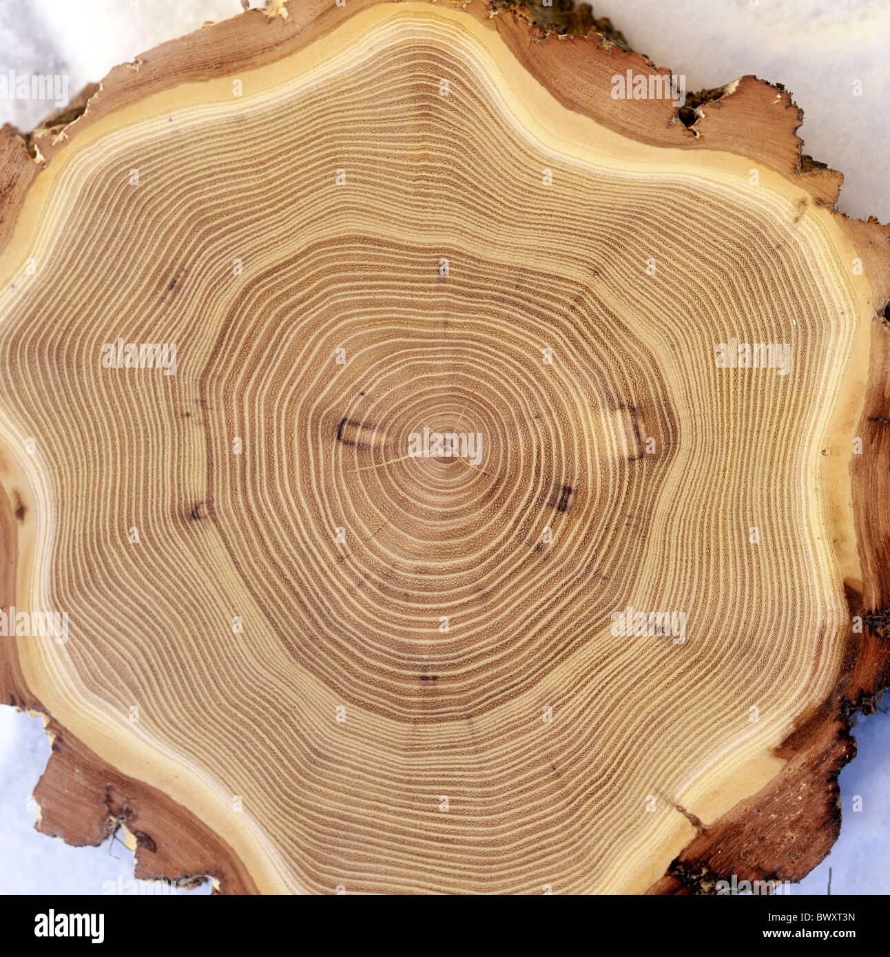 Sbagliato del legno di acacia anelli annuali sezione trasversale ...