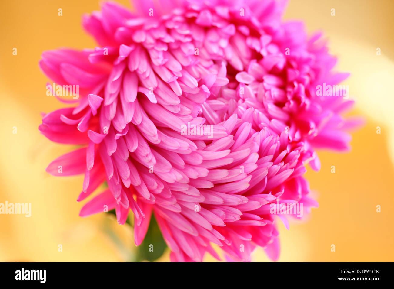 Splendidamente rosa luminoso aster Jane-Ann Butler JABP Fotografia868 Foto Stock
