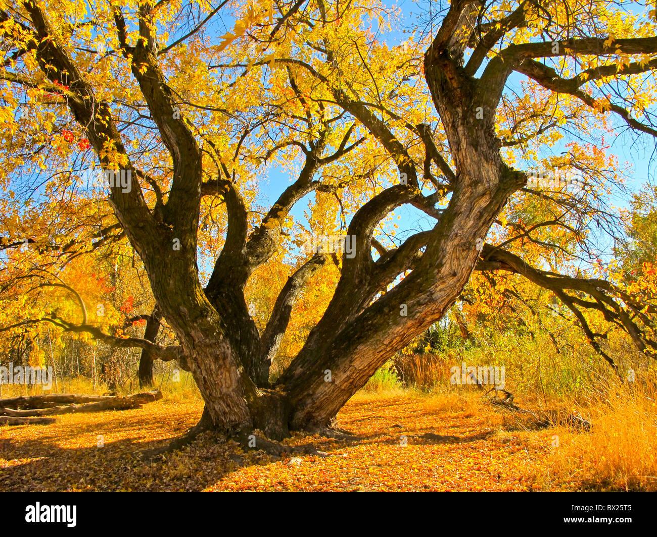 Stati Uniti d'America, Boise, bellissimo albero di Acero sul Fiume Boise Greenbelt in autunno. Immagini Stock