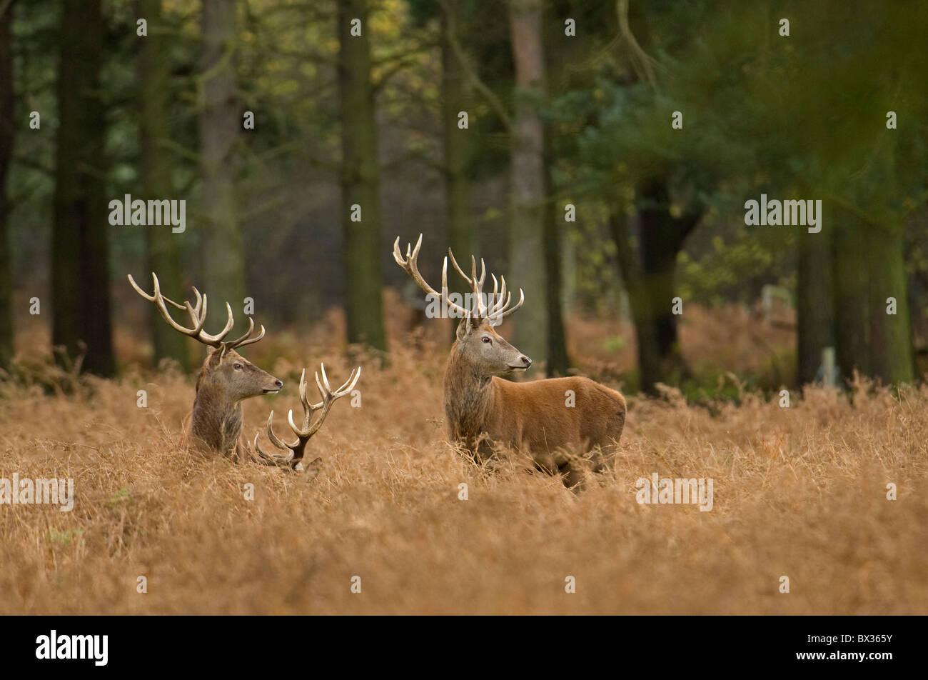 Red Deer cervo a golden bracken. Immagini Stock