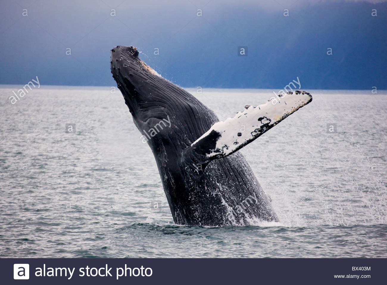 Humpback Whale, il Parco nazionale di Kenai Fjords, Alaska. Immagini Stock