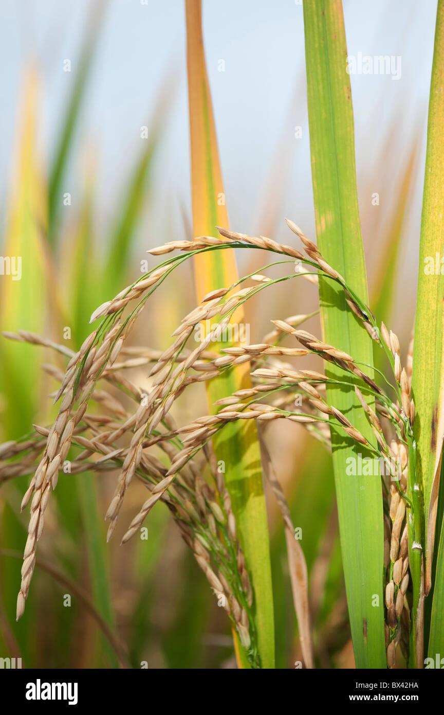 Oryza sativa. Mature grana di riso / sementi sulla pianta in un campo di risone pronto per la raccolta in India Immagini Stock