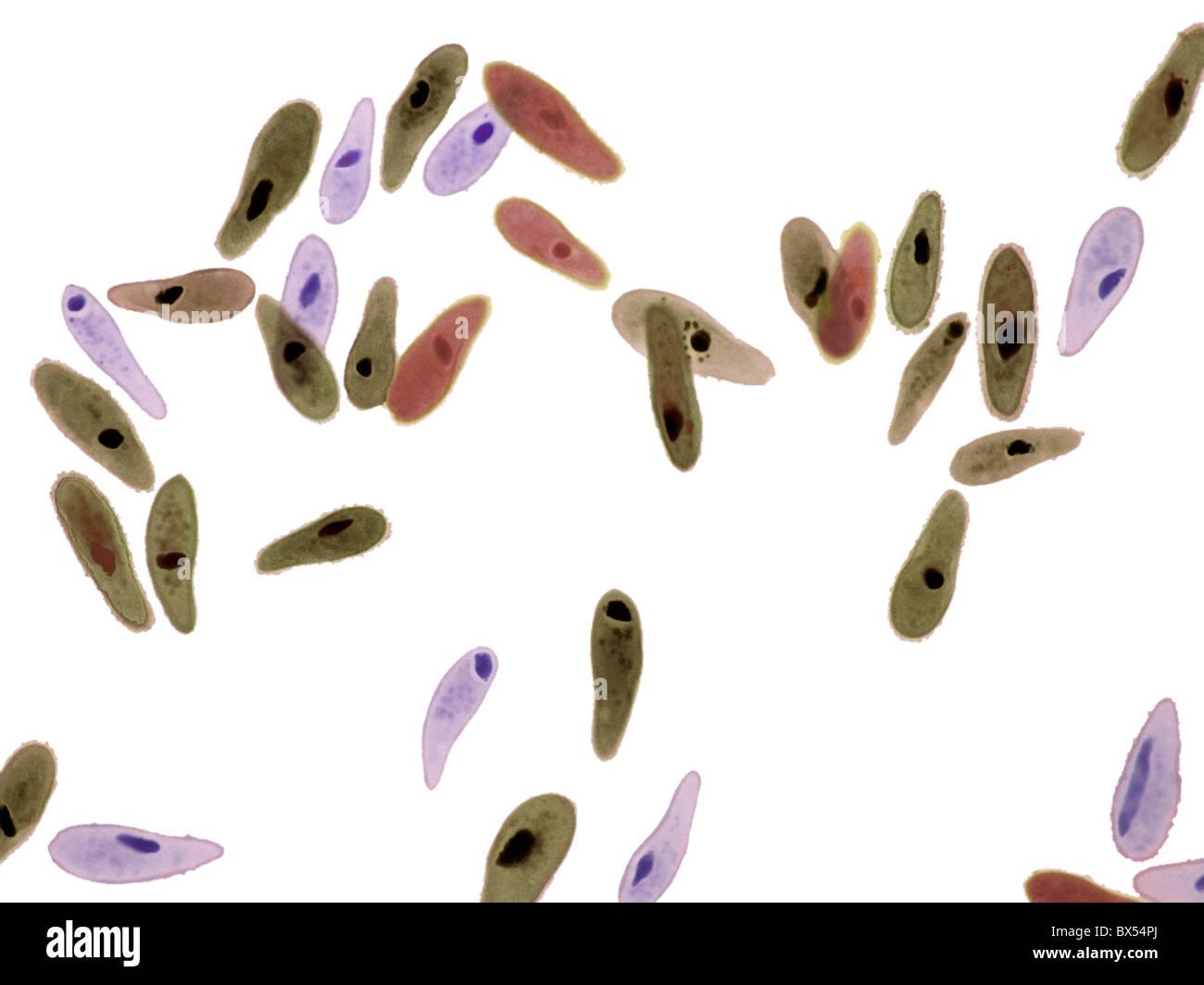 Paramecio protozoi, micrografia di luce Immagini Stock