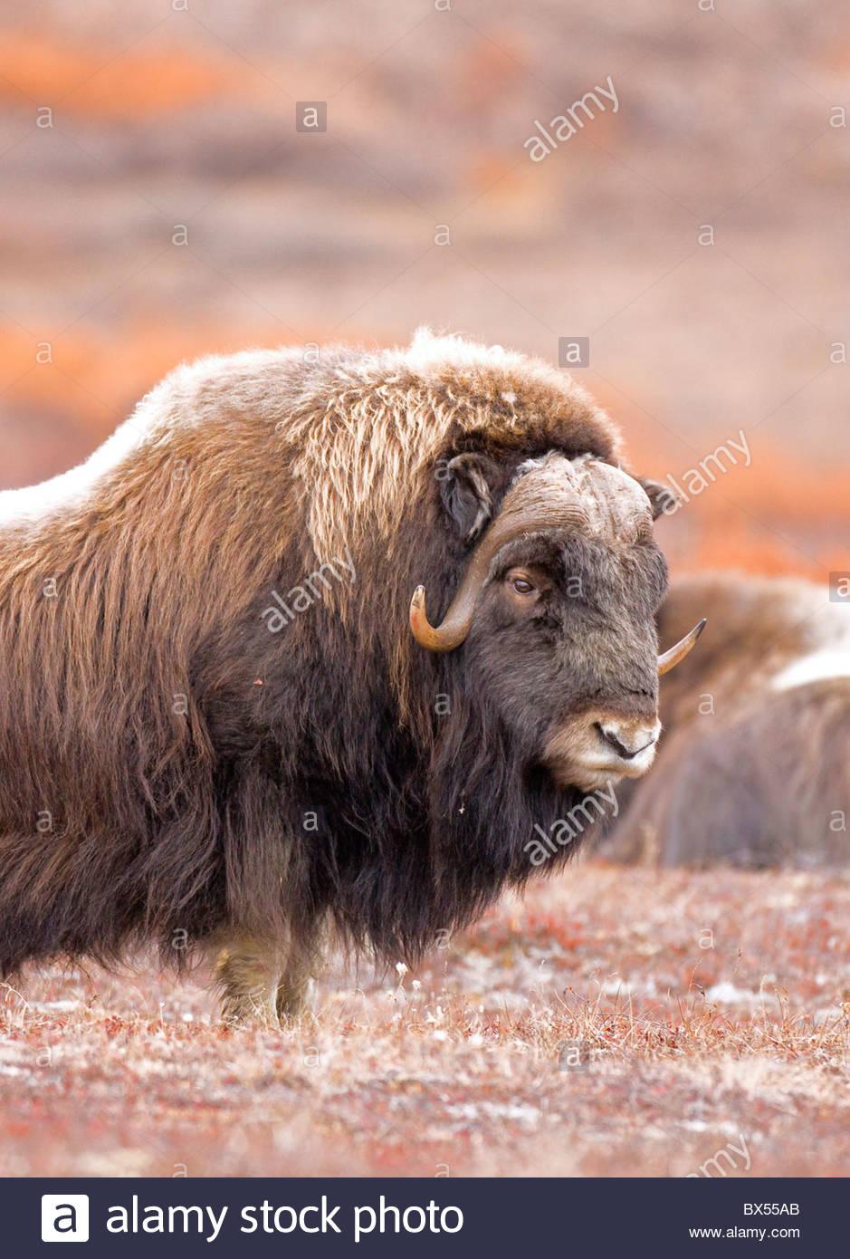 L'Alaska. Ritratto di un toro Muskox (Ovibos moschatus) sulla protezione per gli altri tori e allevamento predatori Immagini Stock