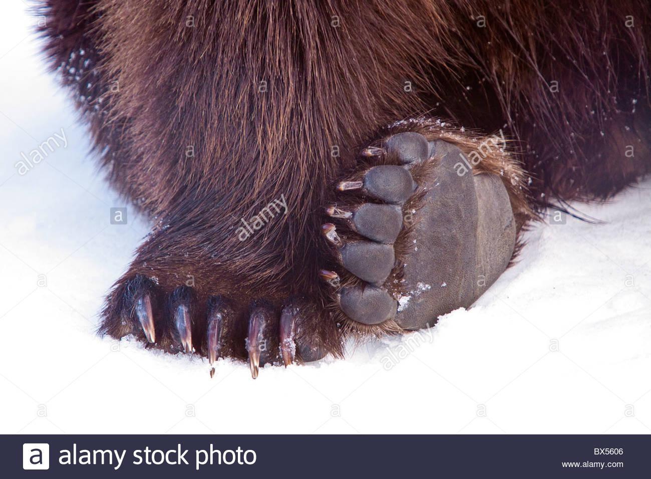 Piedini e pastiglie di Orso grizzly a AWCC, Alaska Wildlife Conservation Centre Immagini Stock