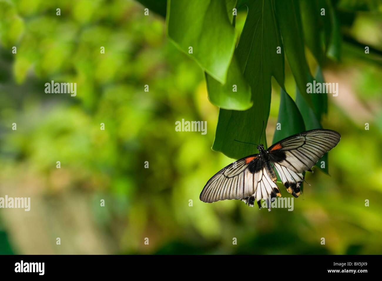 La bella di farfalle tropicali seduti sulla lamina Immagini Stock