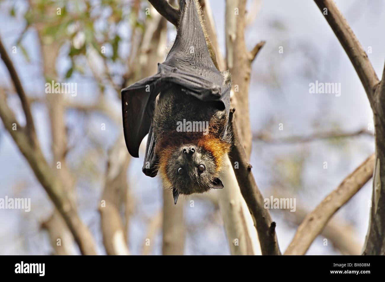A testa grigia flying fox (Pteropus poliocephalus), piegare Yarra Park, Melbourne, Victoria, Australia Pacific Foto Stock