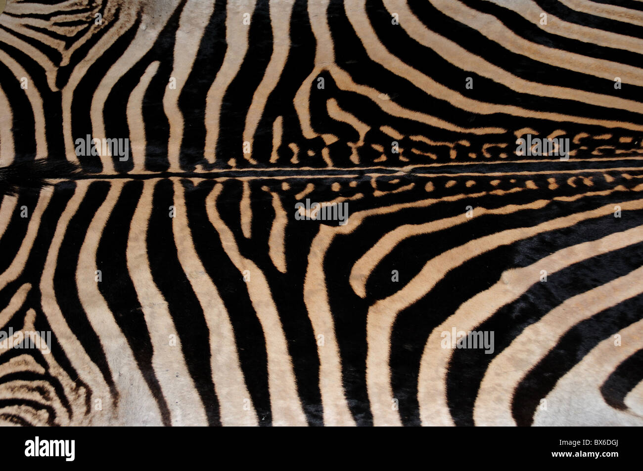 Zebra rug immagini zebra rug fotos stock alamy
