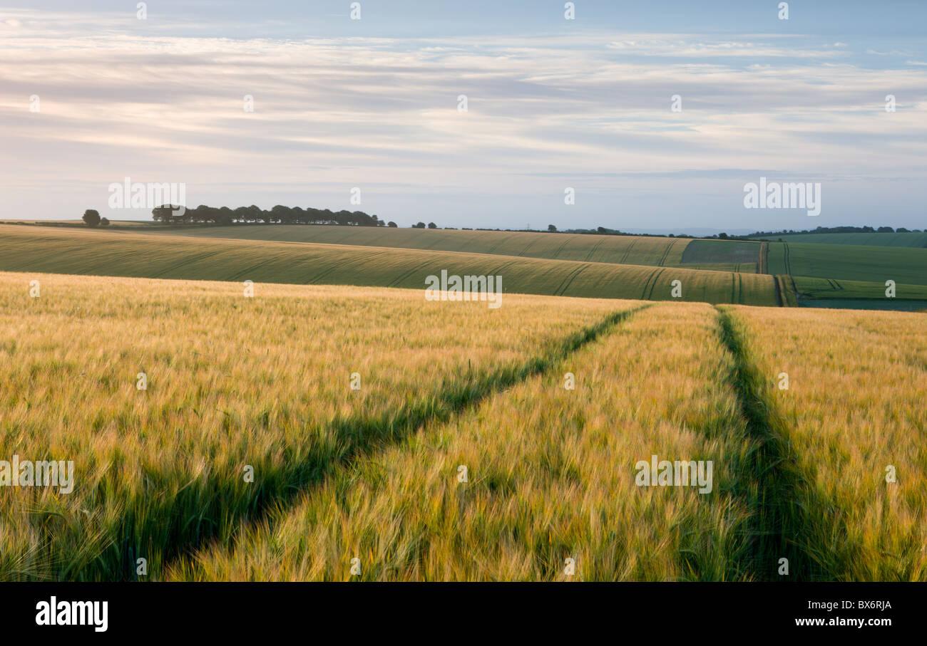 Agricola campi di raccolto nei pressi di Cheesefoot testa nel South Downs National Park, Hampshire, Inghilterra. Immagini Stock