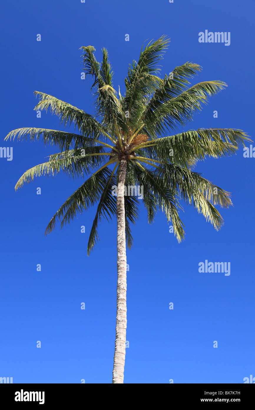 Tropical Palm tree davanti al blu intenso del cielo. Immagini Stock