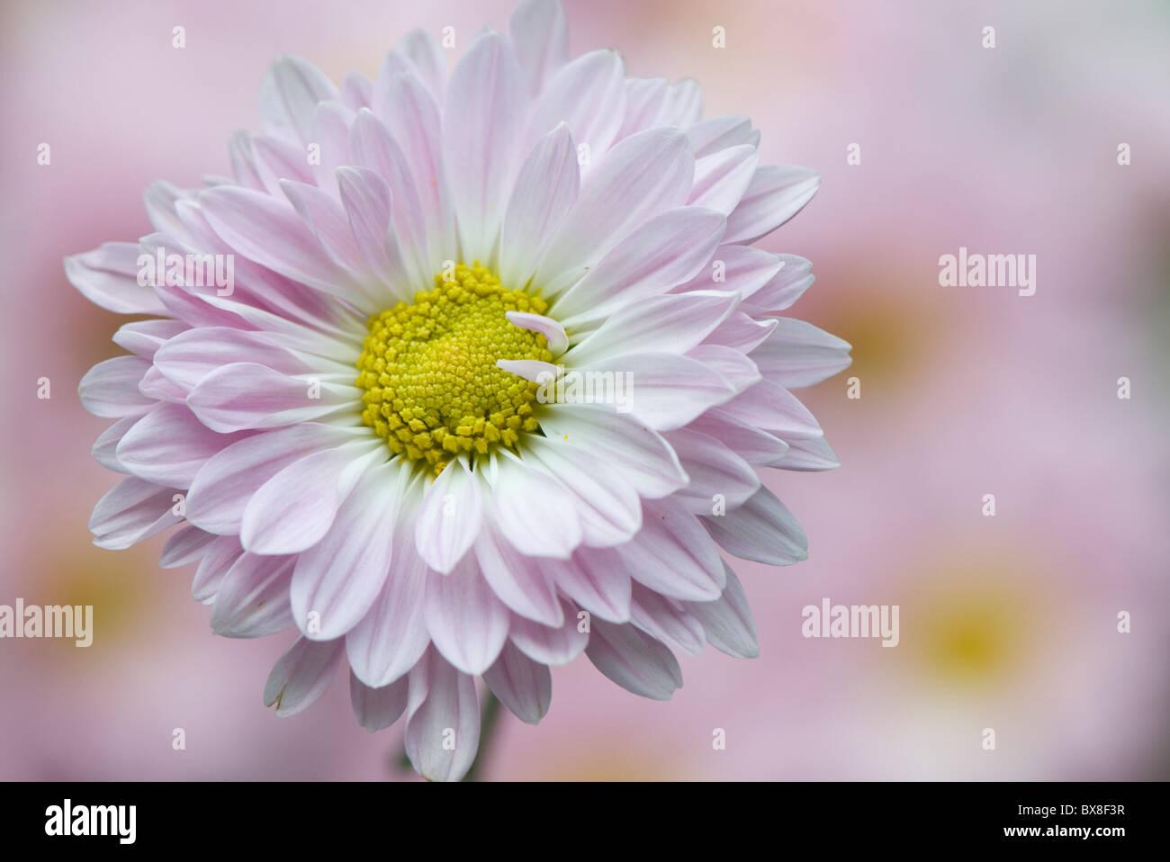 Un unico inglese Daisy Flower - Bellis perennis Foto Stock