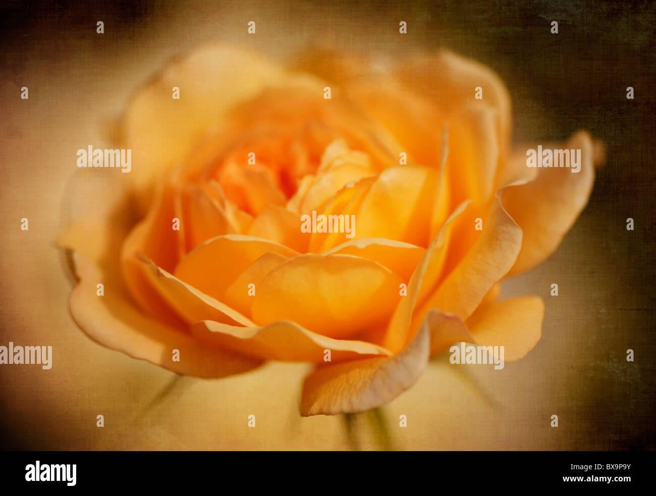Un singolo peach rose - Rosa Immagini Stock