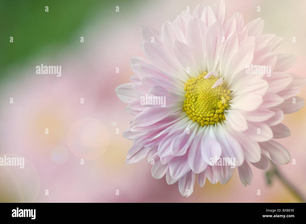 Un unico fiore a margherita - Bellis perennis Immagini Stock