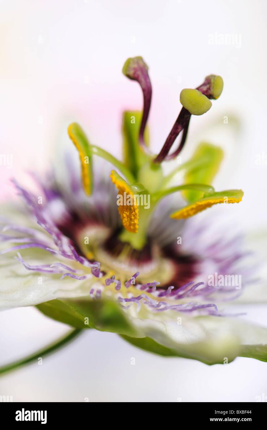 Un unico fiore della passione testa - Passiflora caerulea Immagini Stock