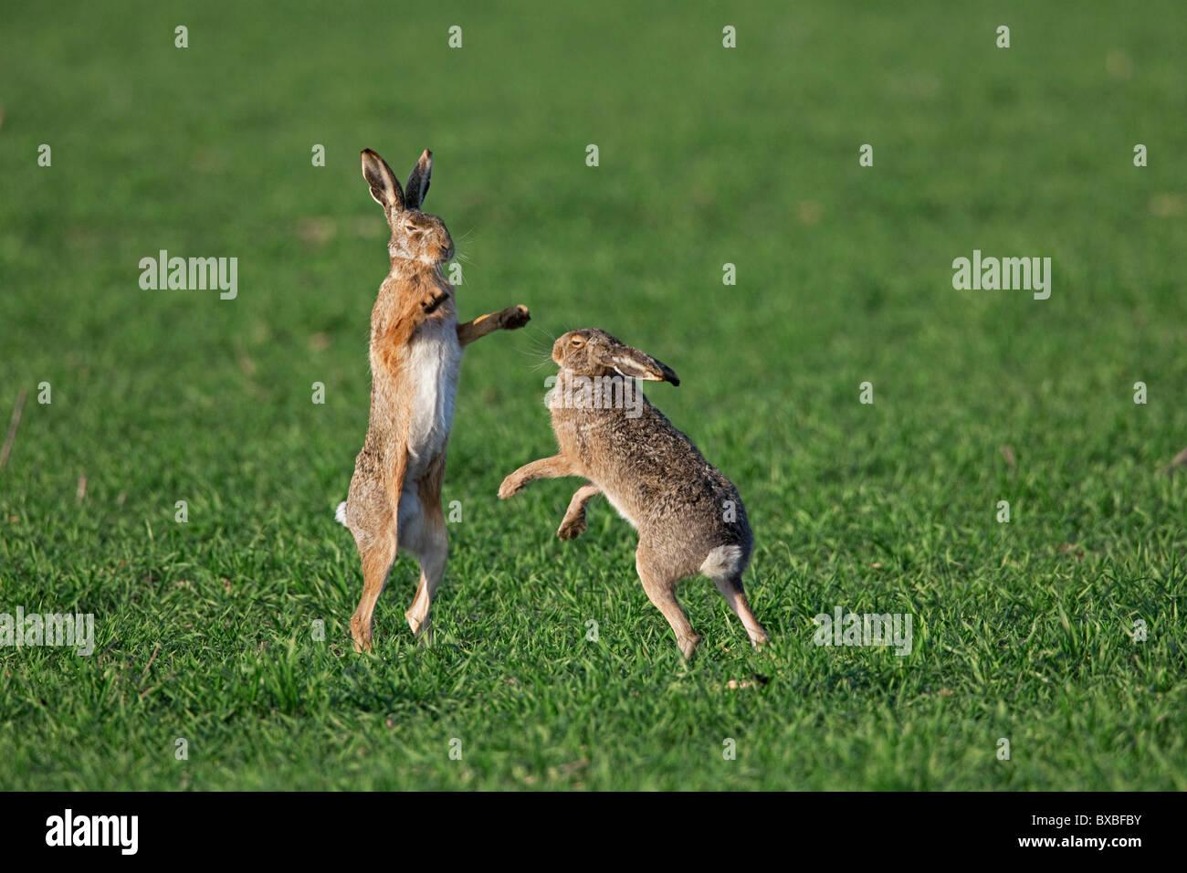 Unione Brown lepre (Lepus europaeus) boxing / combattimenti in campo durante la stagione della riproduzione, Germania Immagini Stock