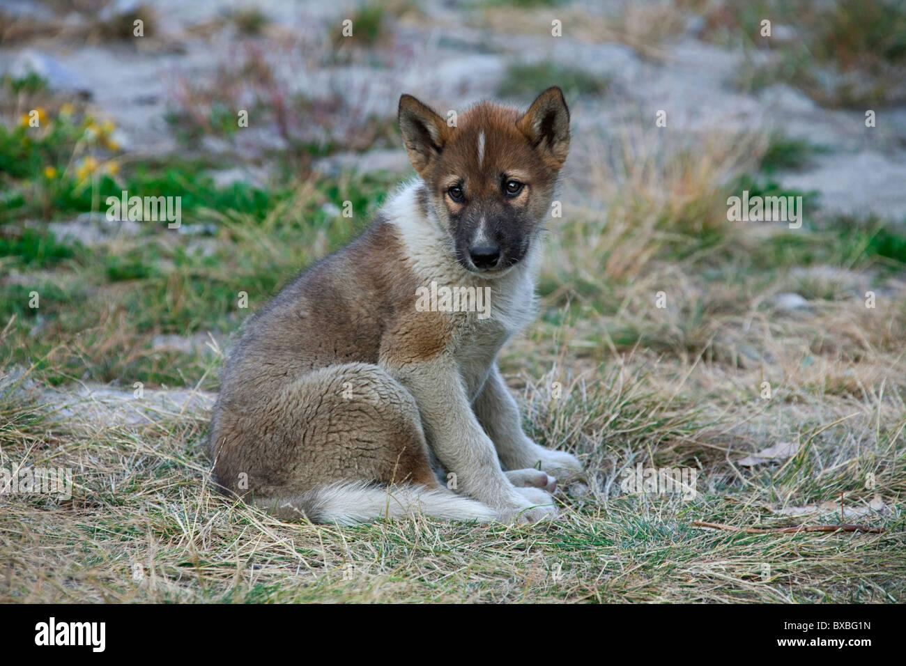 La Groenlandia cane (Canis lupus familiaris), slitta cane pup, Ilulissat, West-Greenland, Groenlandia Immagini Stock