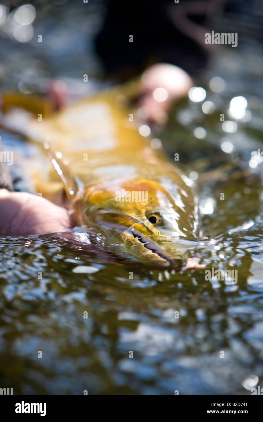 Un grande tagliagole essendo rilasciato sul Green River. Immagini Stock