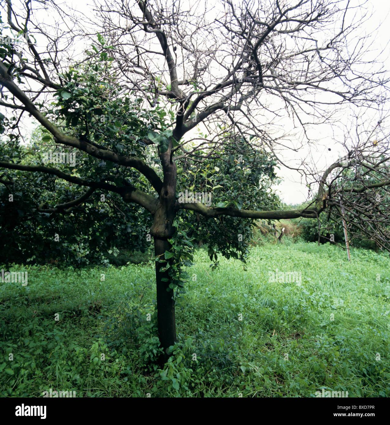 Mal secco (Phoma tracheiphila) malato, morti e morenti lemon tree Immagini Stock