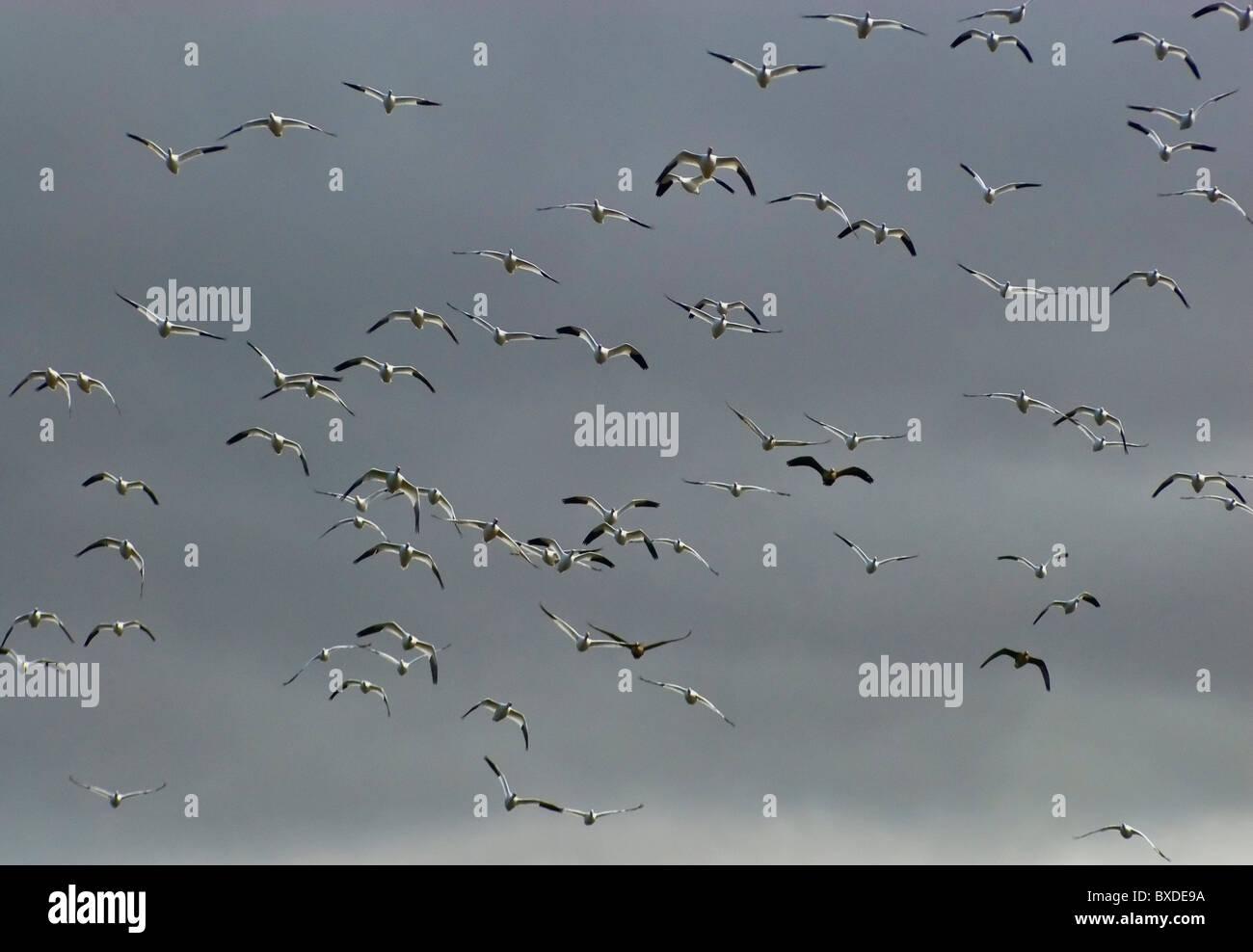 Il volo degli uccelli in marzo a minore di Klamath National Wildlife Refuge, california, Stati Uniti d'America Immagini Stock