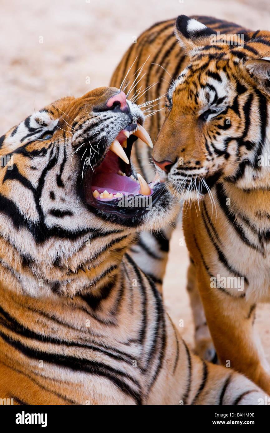 La tigre indocinese o Corbett tiger (Panthera tigris corbetti), Tailandia Immagini Stock