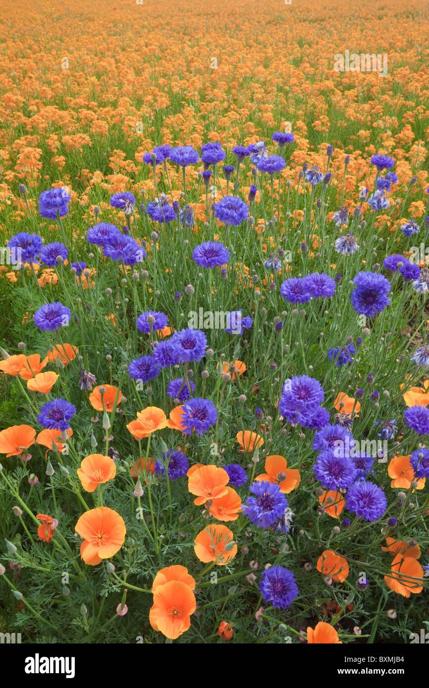 Oregon; Silverton; Diploma di fiori di pulsante e California papaveri con un campo di Siberian violaciocca Immagini Stock