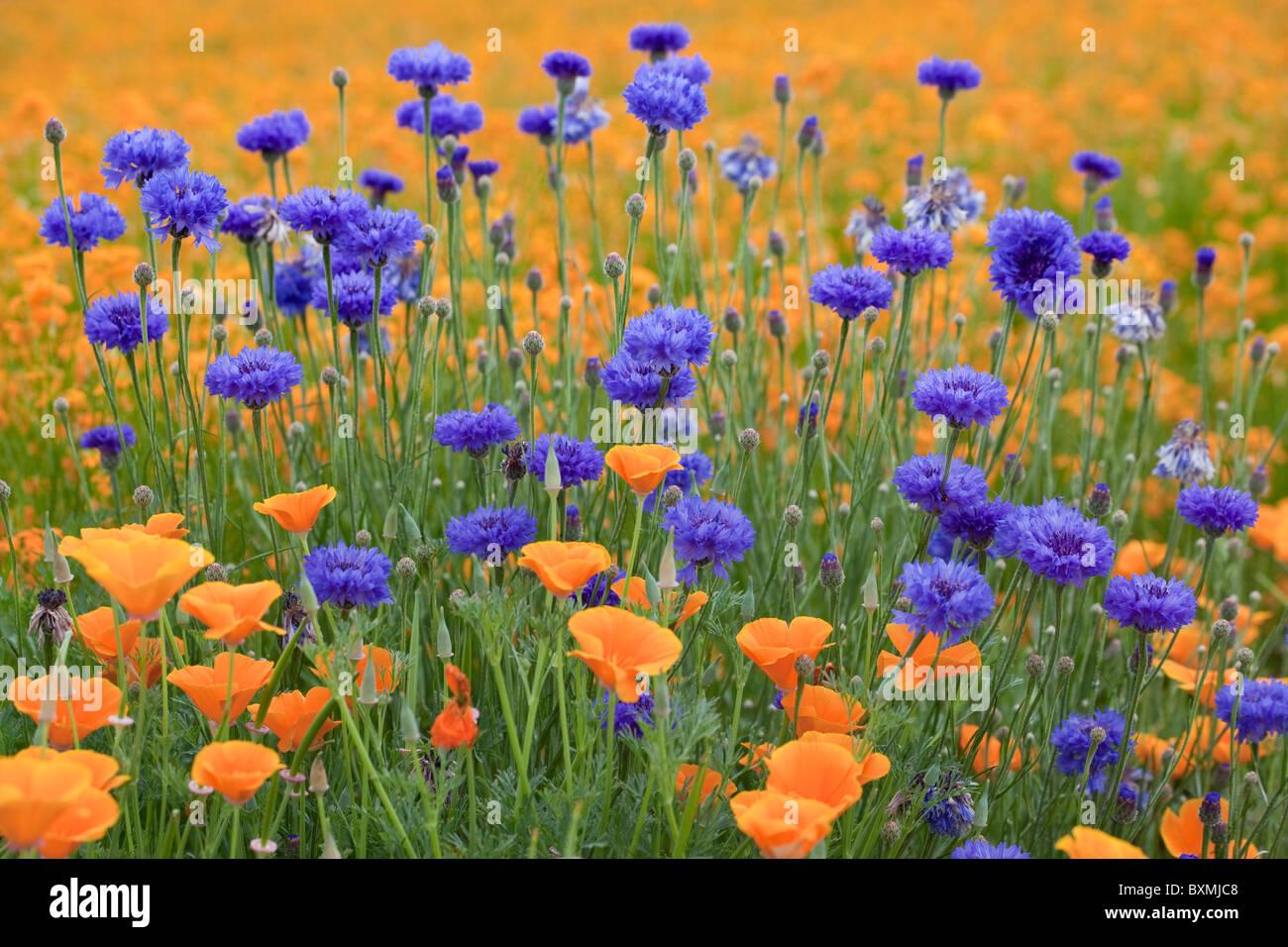 Stati Uniti d'America; Oregon; Silverton; Diploma di fiori di pulsante; arancione papaveri e un campo di Siberian Immagini Stock