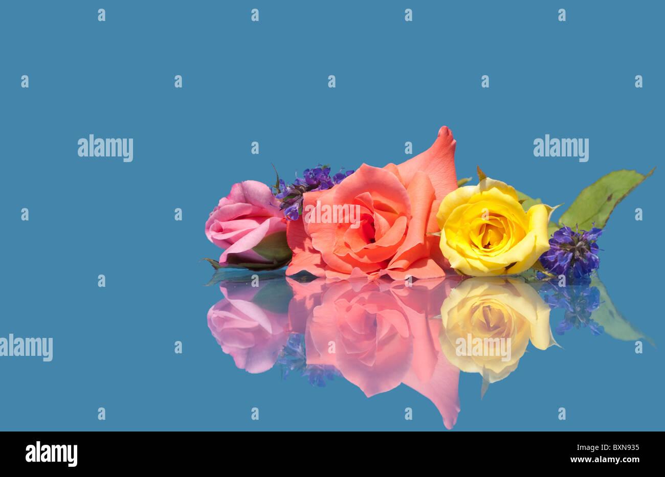 Bellissime Rose Di Diversi Colori Contro Sfondo Blu Con La